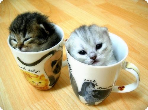 Cupkittens